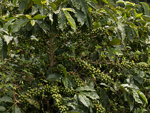 coffee fruit on tree by altitude coffee