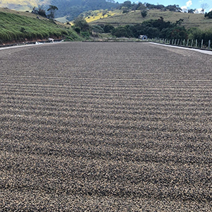 honey process by altitude coffee