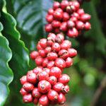 ripe cherry arabica from altitude cofee
